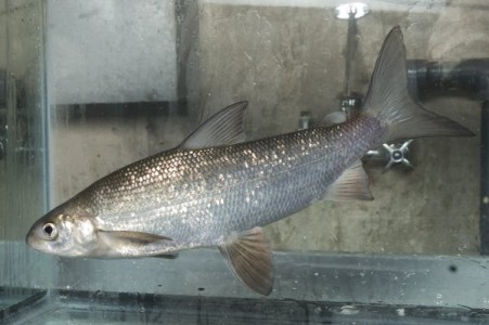 lake_whitefish