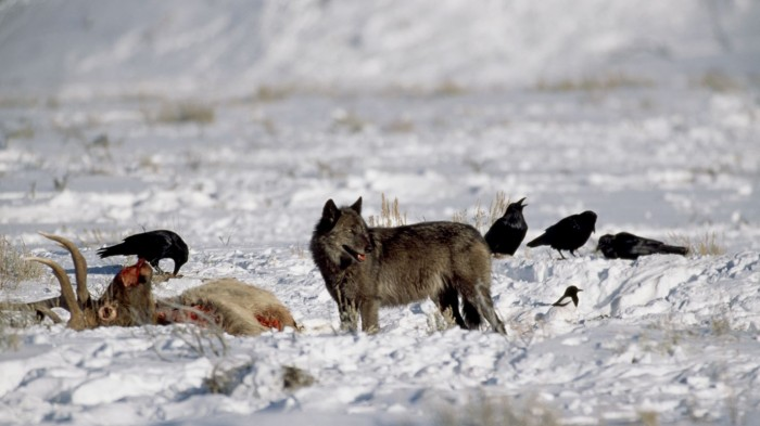 wolf-with-scavengers-sized