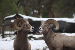 Big horn sheep  photo taken while on the trap line.