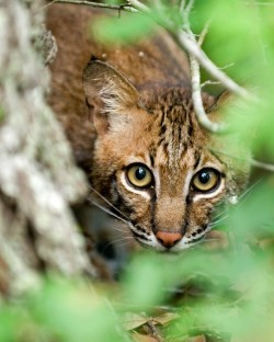 Bob Cat Texas Wildlife Refuge Photo Credithttpswww.facebook.comUSInteriorphotosa.155163054537384.41840.109464015773955740385052681845type=1&theater
