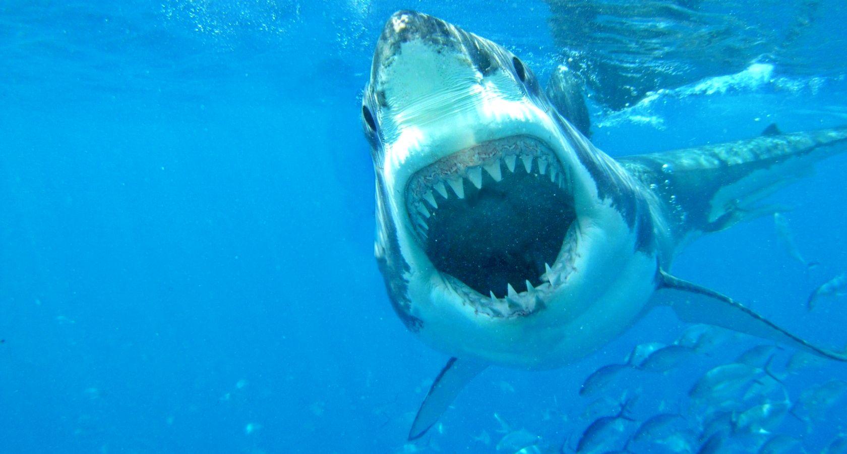 pics photos great white shark hq wallpaper 142972