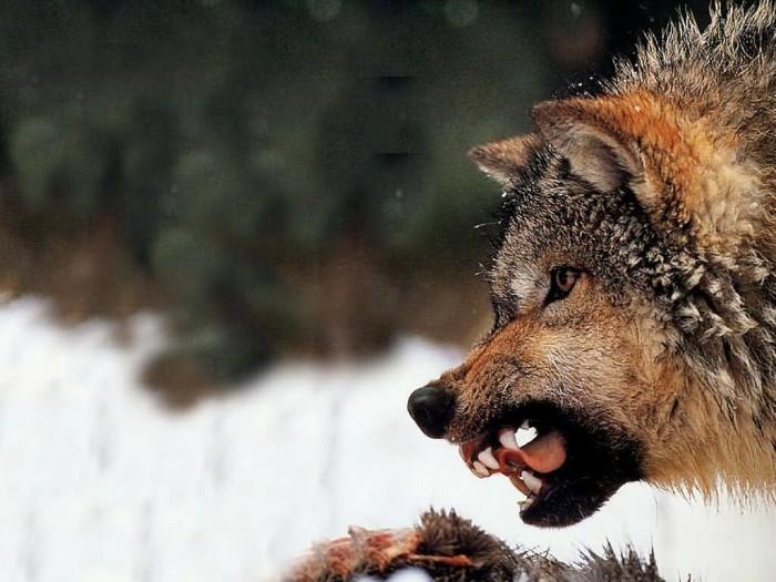 JLM-wolf10-(1024x768)