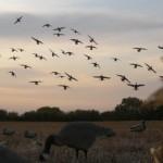 Montana Waterfowl Hunting