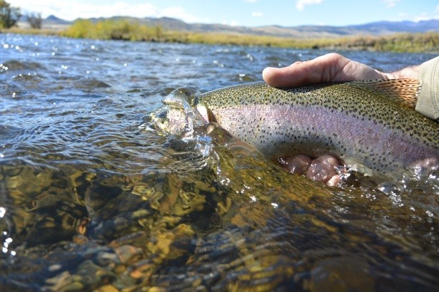 Upper madison river fishing report 10 by fishtales for Upper madison fishing report