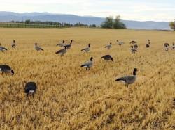 Goose Blind Broadcast