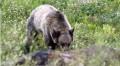 grizzlybear3