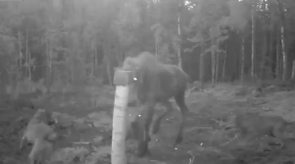 mooseandcalf
