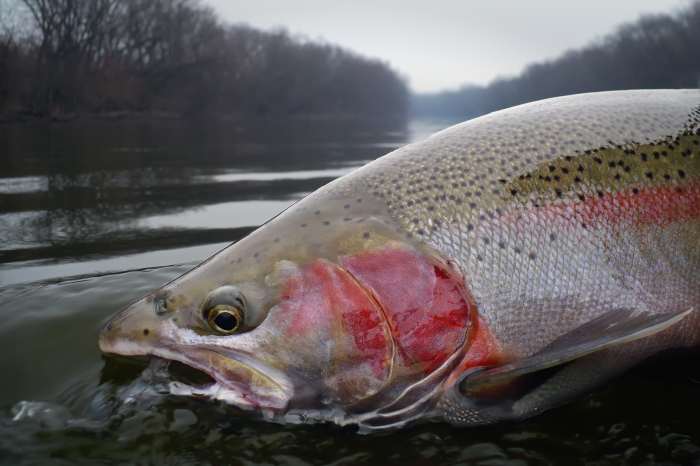 Steelhead report for the salmon river in idaho for Idaho steelhead fishing report