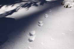Marten Tracks in Rocky Mountain  snow.  Studying tracks is a favorite past time of many fur trappers.  Tracks will teach the studious observer a great deal about wildlife.