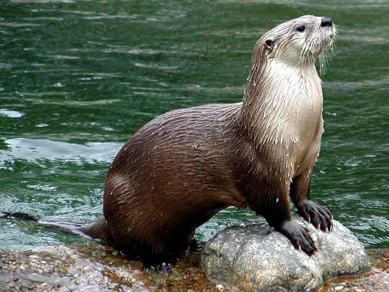 north american river otter basic facts