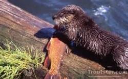 otter eating fish