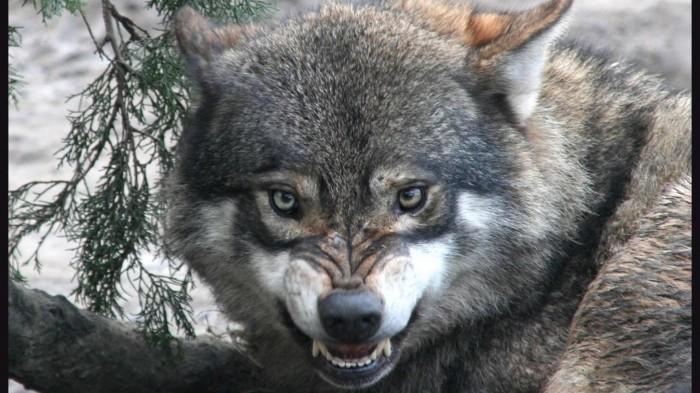 wolfangryface