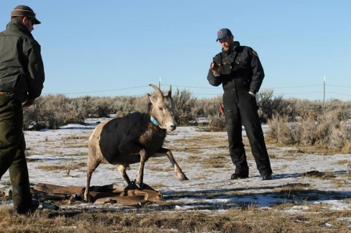 Big Horn Sheep Captured Moved To Sheep Creek Drainage