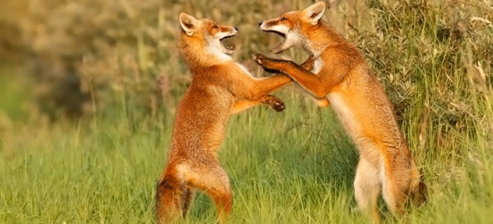 fox_kit_playfighting