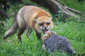 foxgrowl