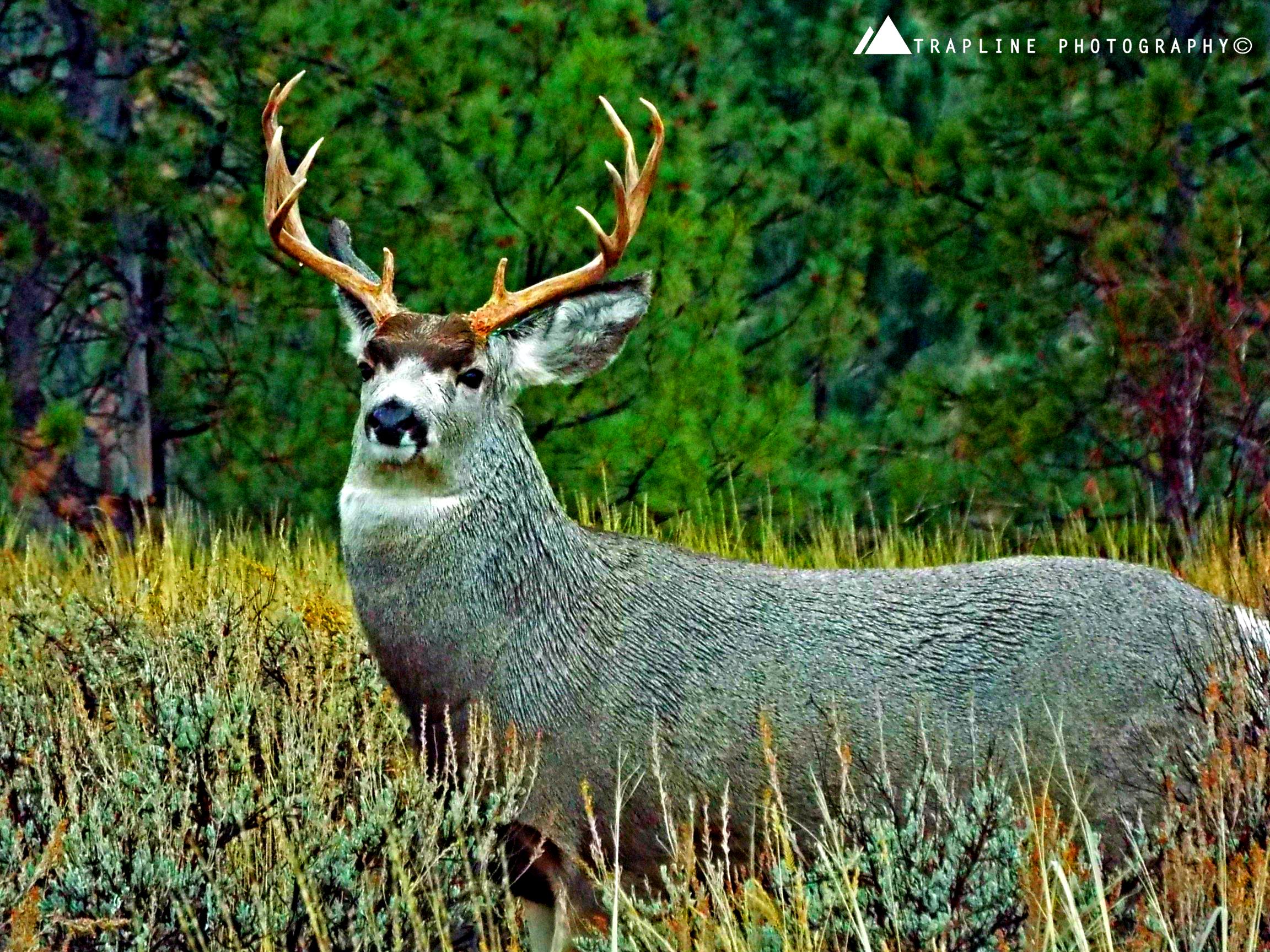 muleybuck