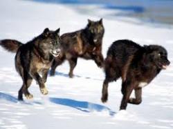 wolvesbeyond