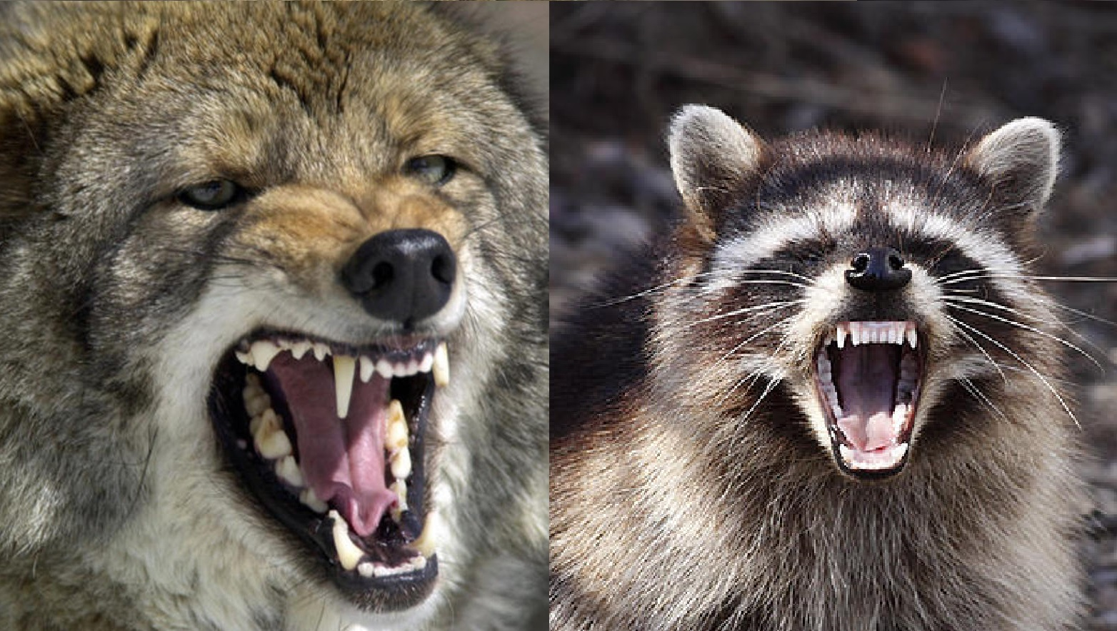 Coyote vs raccoons and the winner is montana for Do raccoons eat fish