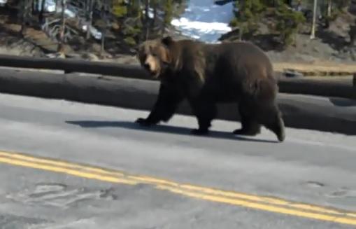 grizzlybearyo