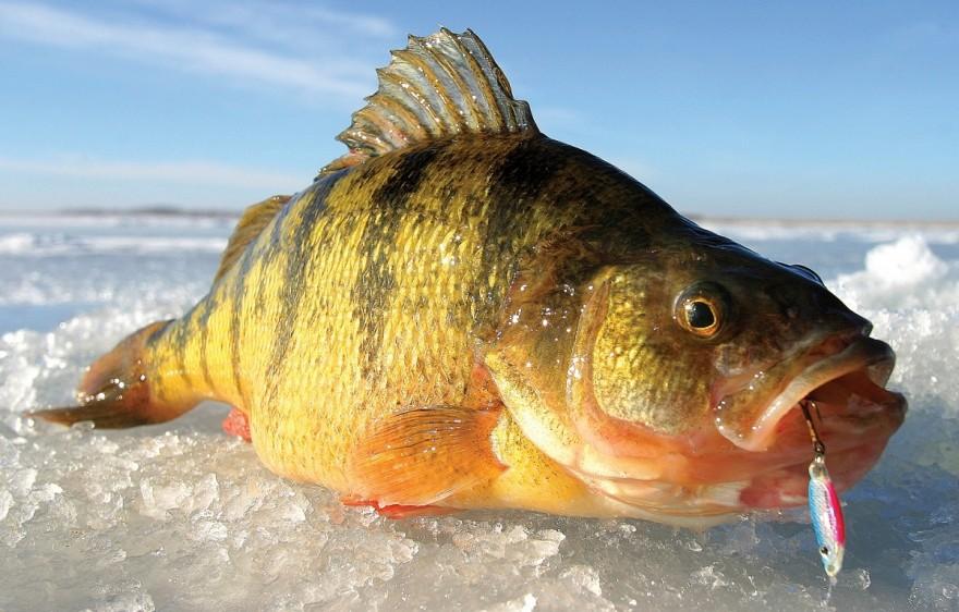 perch fishing ice lake lakes upper michigan jumbo gogebic panfish peninsula fish teeter holter outdoorhub lures jeff fly tips winter