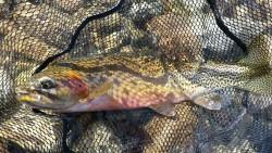 cutt bow in net