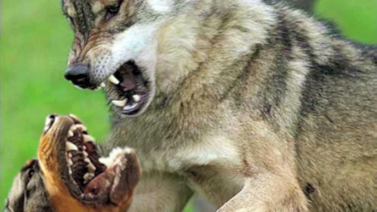 Wolf Vs Dog Fight