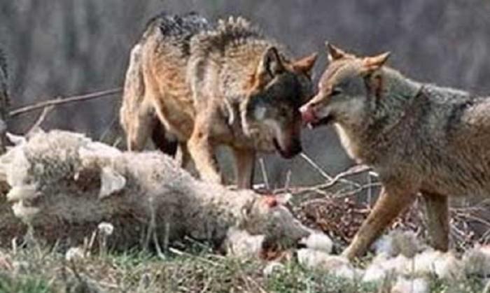 wolfquota2a