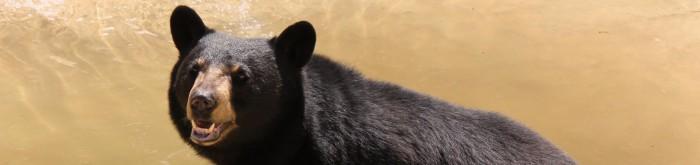 ME-Bear-Population-Banner