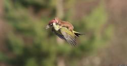 birdweasel
