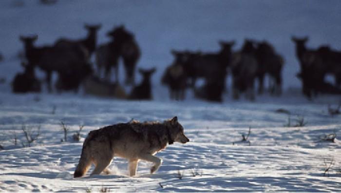wolfelk