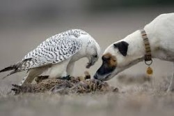 Falcon with dog