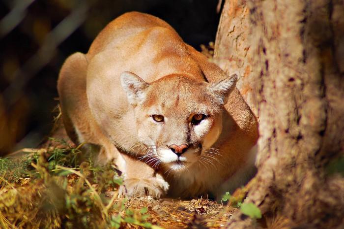 mountain-lion-jr2012