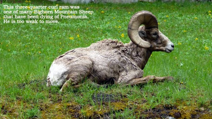 East Fork Bighorn Sheep Herd Hit with Pneumonia for 2nd Time