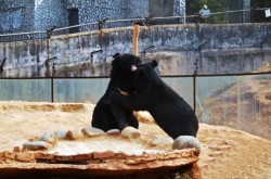 "Pic shows: The beers in the rescue centre.  A man has made headlines this week after a pair of 'puppies' he bought and raised for two years turned out to be black bears.  Wang Kaiyu, the unwitting resident of Maguan County in south-west China's Yunnan Province discovered recently that instead of dogs, he had been raising two Asian black bears (Ursus thibetanus) which are classed as a protected species in China and require a permit to breed.  Kaiyu said he was offered the two bears as puppies by a tradesman while travelling on China's southern border with Vietnam when he bought the two black and furry animals home in their cages.  He realised over the years that while the animals grew larger and larger, so too did their appetites, even occasionally preying on the domestic fowl on his farmland.  Kaiyu said he only realised however that his dogs were bears when he was sent a promotional notice sent out by the local wildlife and forestry authorities informing citizens about the different endangered animals that locals may or may not come across, and the laws governing their protection.  It was then that Kaiyu realised that not only was he raising two Asian black bears, but also that the animals were also second class protected species.  After much deliberation with his family, Kaiyu decided to telephone authorities and hand over the two bears, lest his good intentions for keeping the animals be misinterpreted as smuggling.  Officials from the local Yunnan wild animal rescue centre immediately inspected the bears and found them to be a healthy female and a healthy male.  The animals were brought back to the rescue centre for observation and breeding, with Kaiyu receiving plaudits for his honesty honesty.  He was quoted afterwards saying: ""I am pleased, I thought I might end up in jail and was really worried after I called them.""  (ends)"