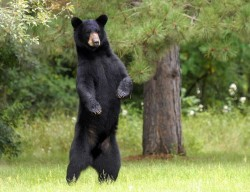 black-bear-standing