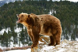 fierce-grizzly-bear-roaring.jpg.pagespeed.ce.VXNHr3y2Eb