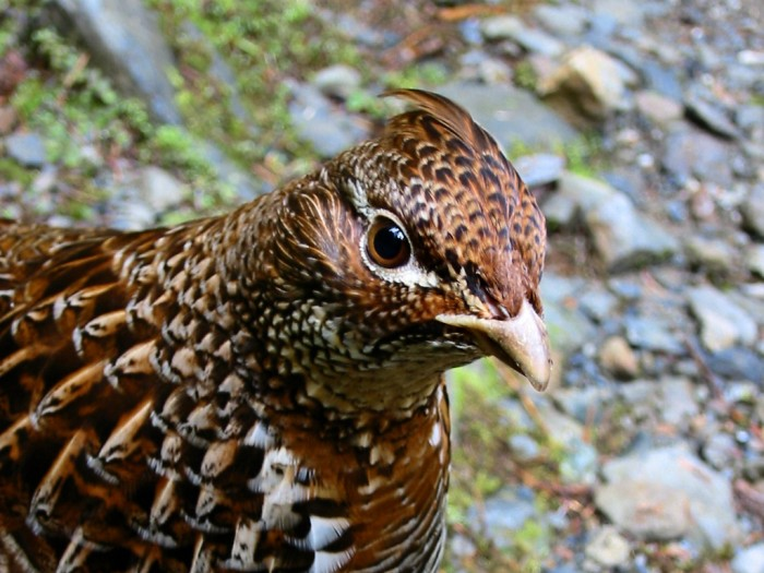 Ruffed_Grouse_BenAmstutz_FlickrCC