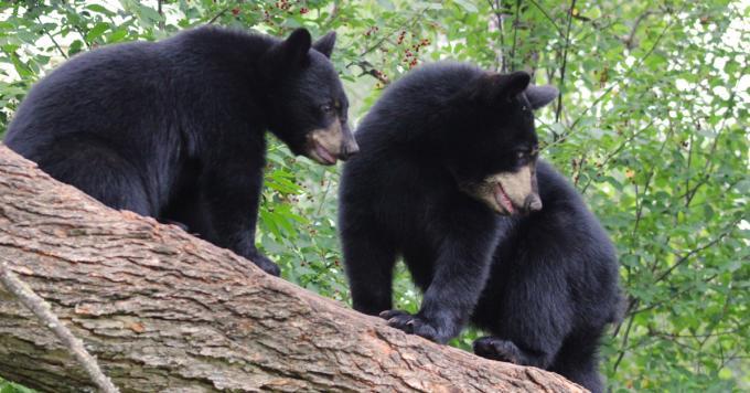 blackbears