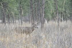 A deer roam the Flathead Reservation.