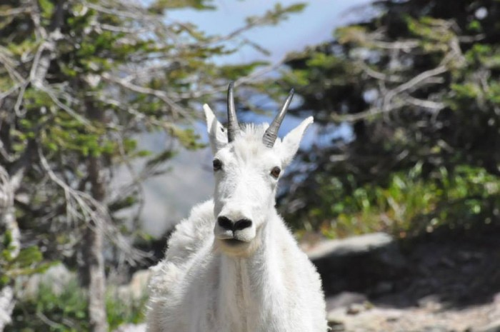 mountaingoat