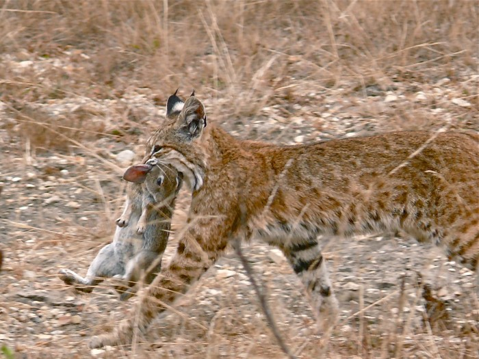 Bobcat_having_caught_a_rabbit