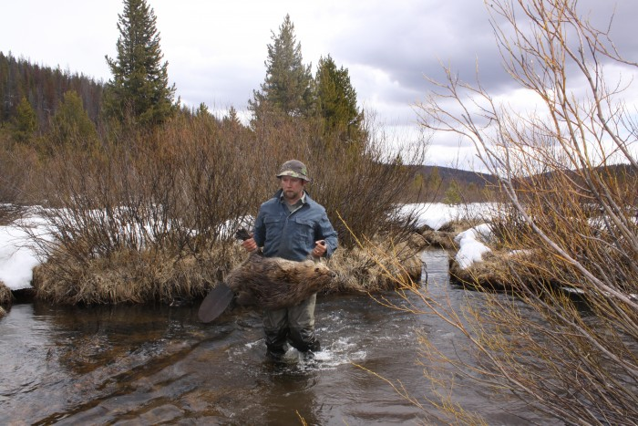 Author carrying a blanket beaver trapped using a Castor Mound Point set.  Walrath 2015