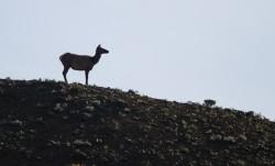 elk cow silhouette