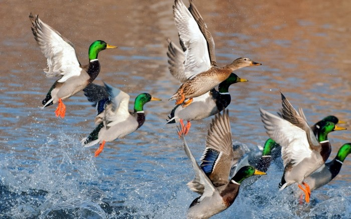 mallard-ducks-flying-from-water-hd-wallpaper
