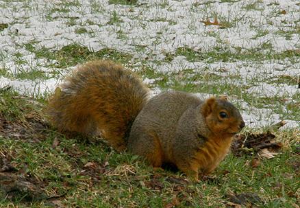 fat squirrel3