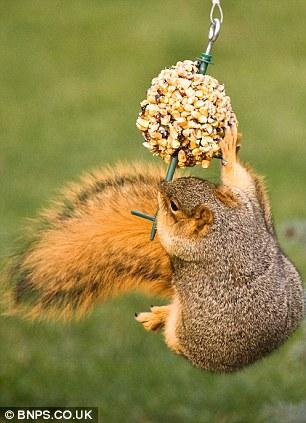 fat squirrel 6