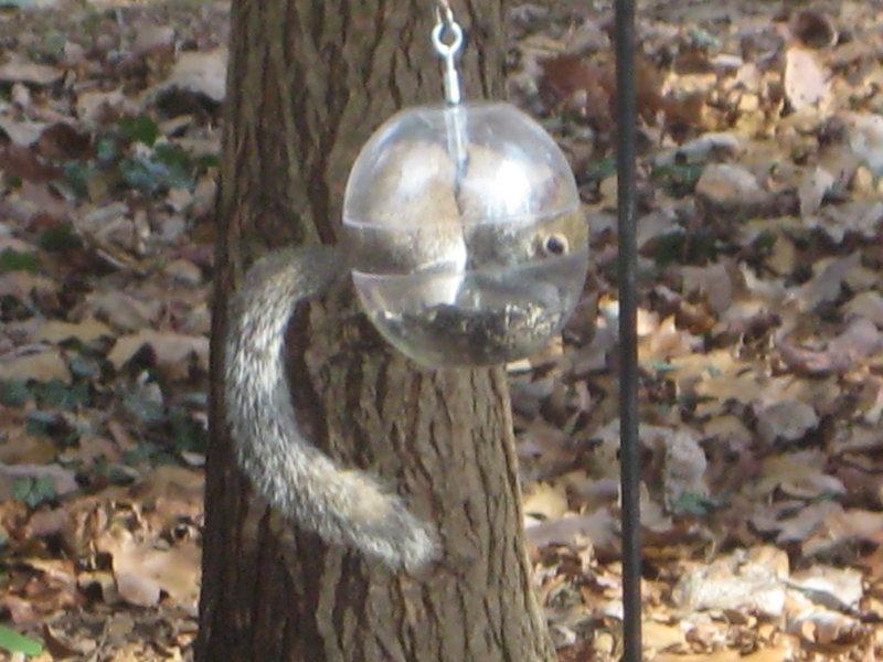 fat squirrel5