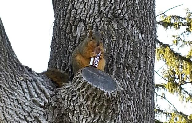 fat squirrel4