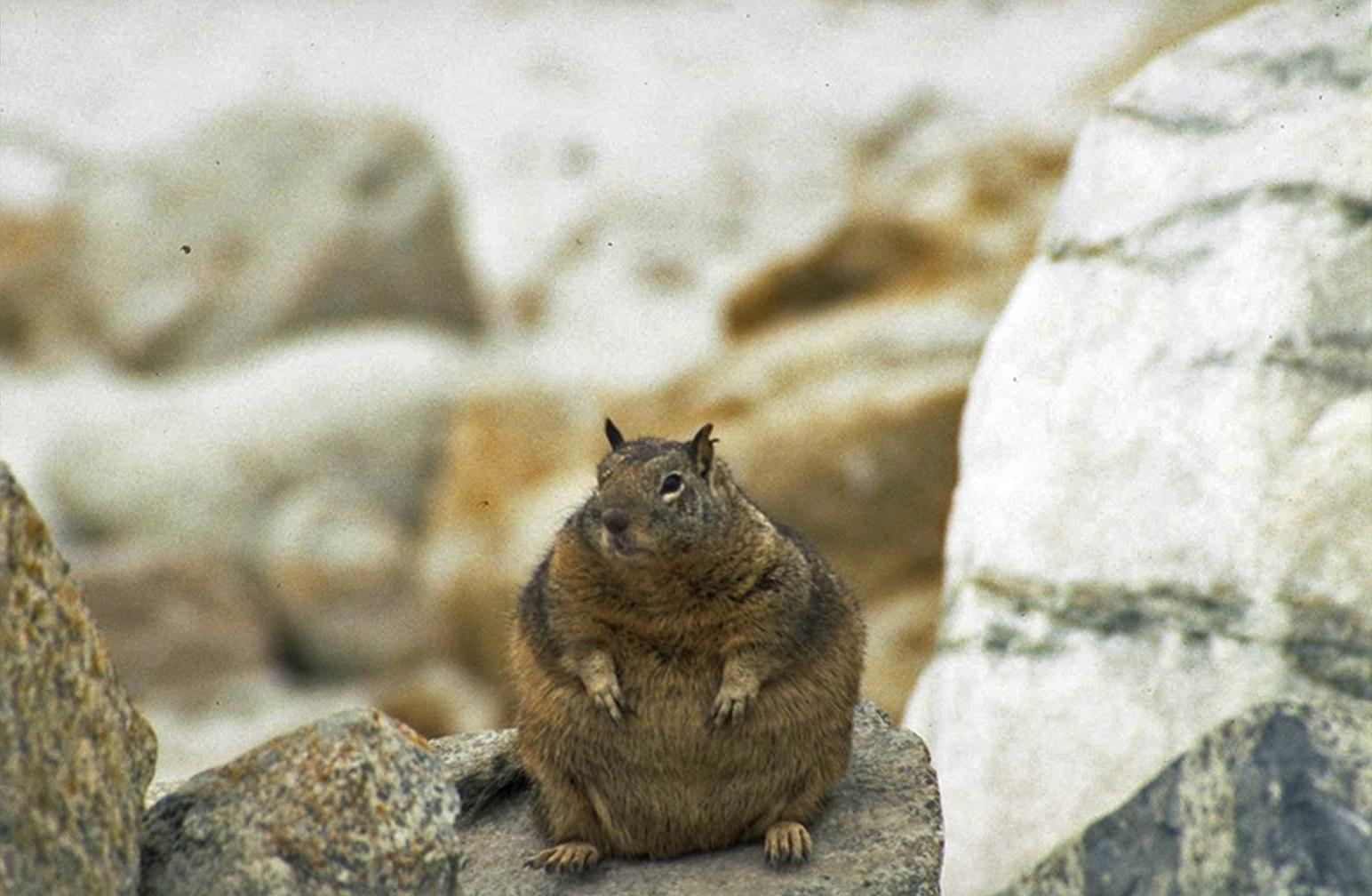 fat squirrel2