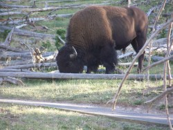 Bison by Toby Walrath
